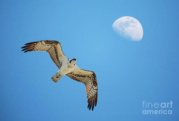 Soaring Osprey And Gibbous Moon Poster