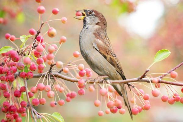 Sparrow Eating Berries Poster