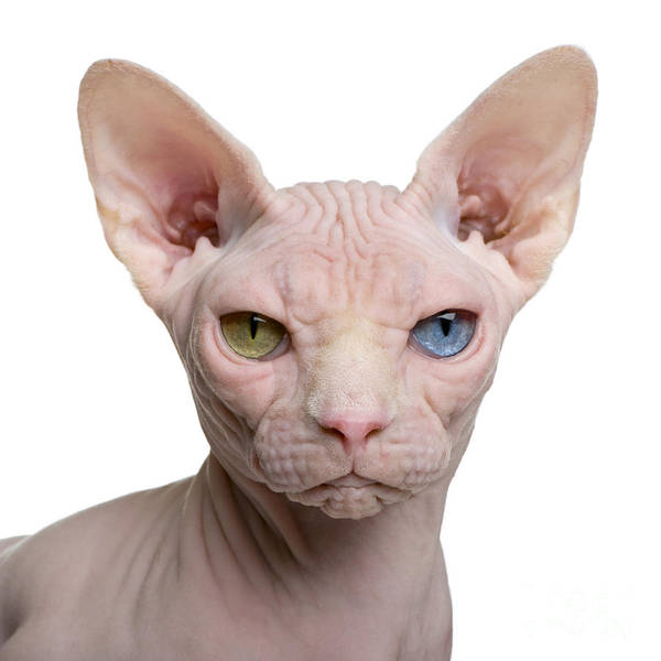 Sphynx Cat, 1 Year Old, In Front Of Poster
