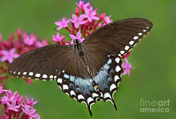 Spicebush Swallowtail Papilio Trollus Poster