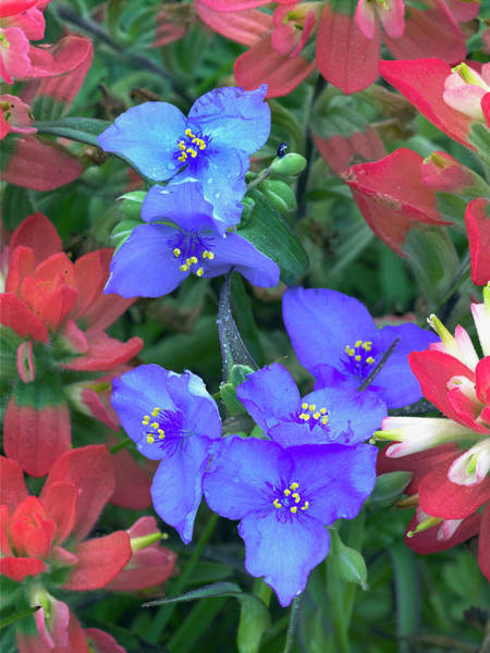 Spiderwort And Paintbrush Flowers, Texas Poster
