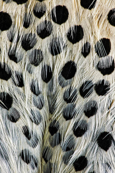 Spot Pattern On Belly Feathers Poster