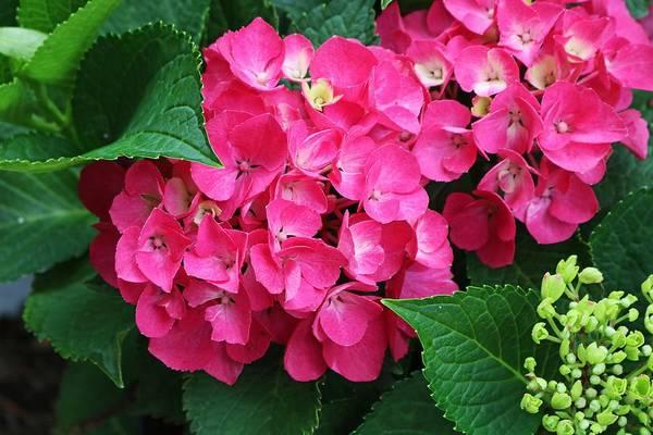 Spring Hydrangea Poster