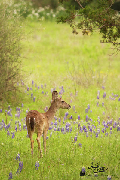 Springtime Whitetail Poster