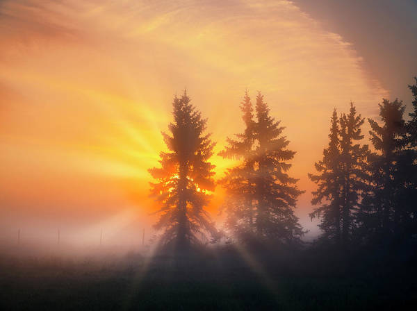 Spruce Trees In The Morning Poster