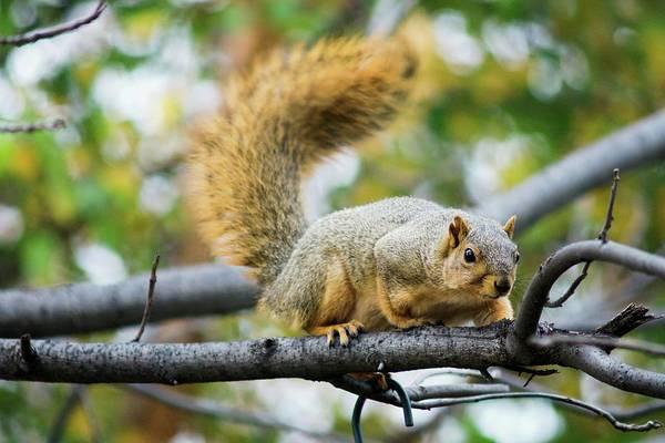 Squirrel Crouching On Tree Limb Poster
