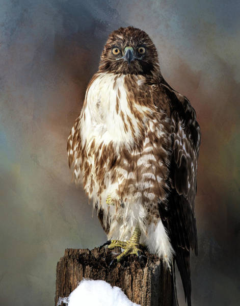 Stare Down With A Hawk Poster