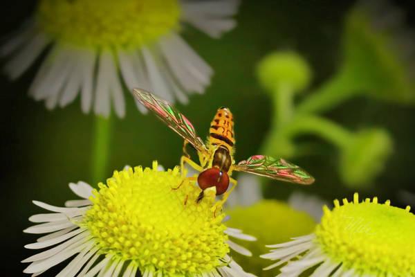 Sugar Bee Wings Poster