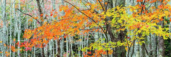 Sugar Maple Acer Saccharum In Autumn Poster