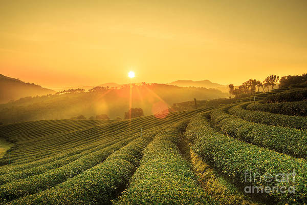 Sunrise View Of Tea Plantation Poster