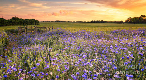Sunset Over A Wild Flowers In Cornwall Poster