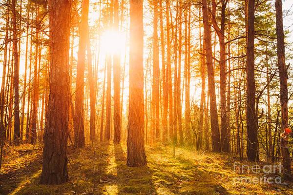 Sunset Sunrise In Atumn Coniferous Poster