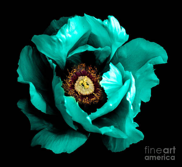 Surreal Dark Chrome Cyan Peony Flower Poster