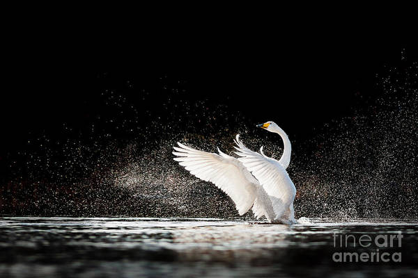 Swan Rising From Water And Splashing Poster