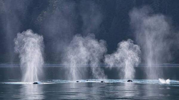Poster featuring the photograph Synchronized Swimming Humpback Whales Alaska by Nathan Bush