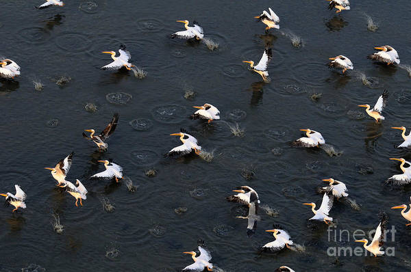 Synchronous Flight Of White Pelicans Poster