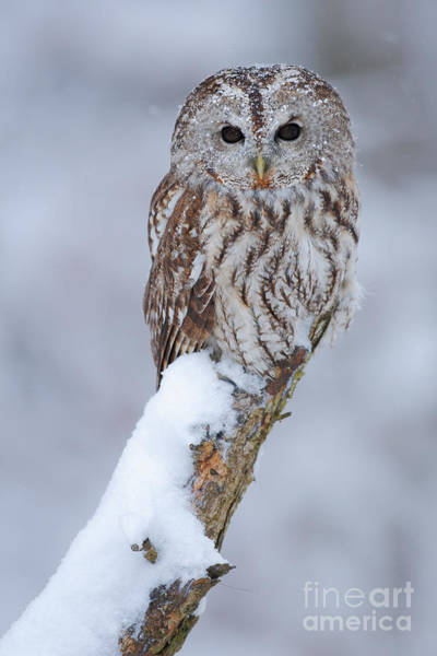 Tawny Owl Covered With Snow. Wildlife Poster