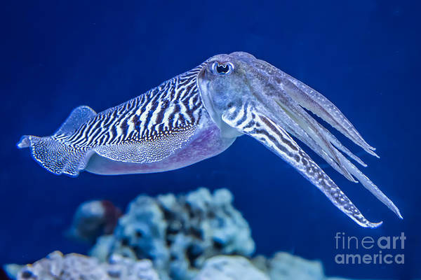 The Common European Cuttlefish Sepia Poster