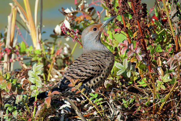 The Northern Flicker Is A Medium-sized Poster
