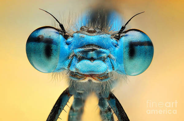 The Picture Shows A Beautiful  Damesfly Poster