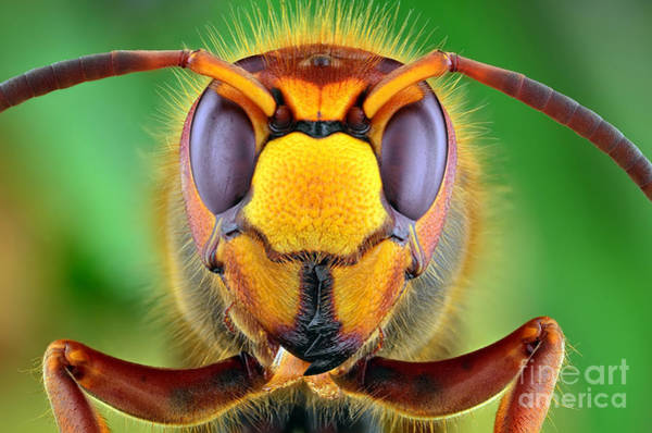 The Picture Shows Hornet Vespa Crabro Poster
