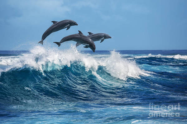Three Beautiful Dolphins Jumping Over Poster