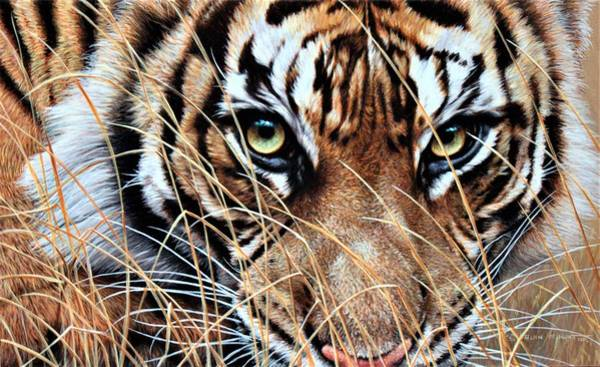 Poster featuring the painting Tiger Eyes By Alan M Hunt by Alan M Hunt