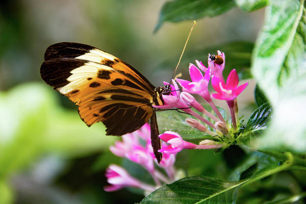 Tiger Longwing Butterfly Drinking Nectar  Poster