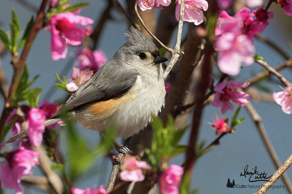 Titmouse And Peach Blossoms Poster