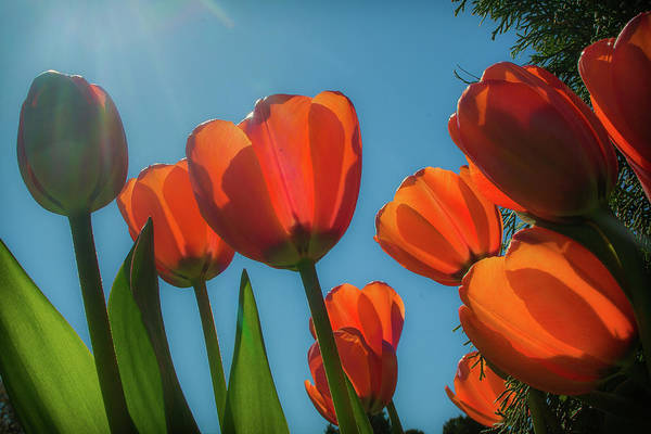Towering Tulips Poster