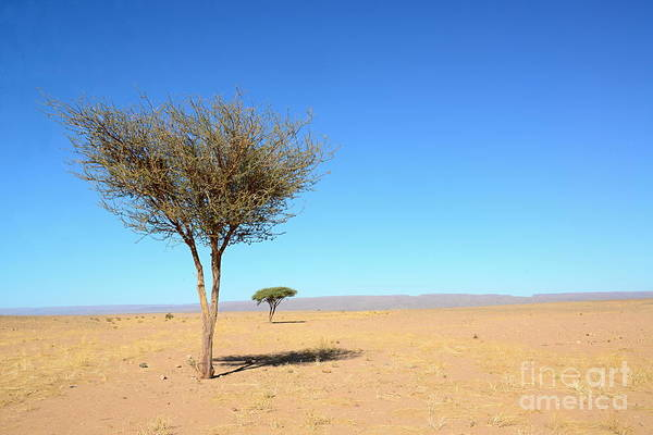 Tree In Sahara Desert In Morocco Near Poster