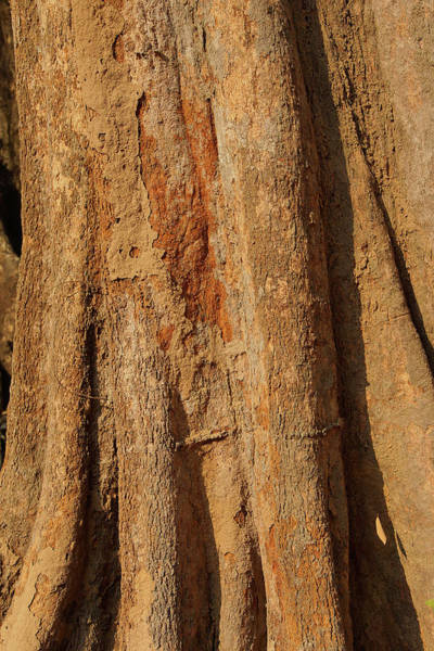 Tree Trunk And Bark Of Chambak Poster