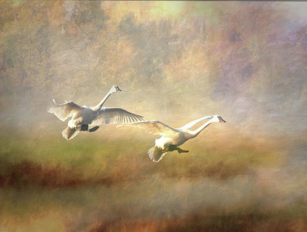 Poster featuring the photograph Trumpeter Swan Landing - Painterly by Patti Deters