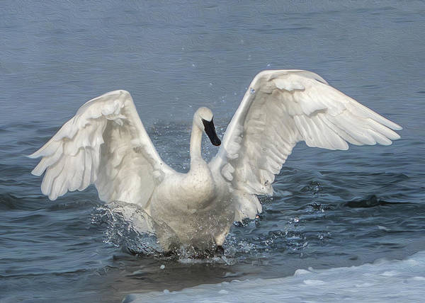 Poster featuring the photograph Trumpeter Swan Splash by Patti Deters