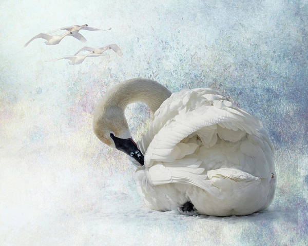 Poster featuring the photograph Trumpeter Textures #2 - Swan Preening by Patti Deters