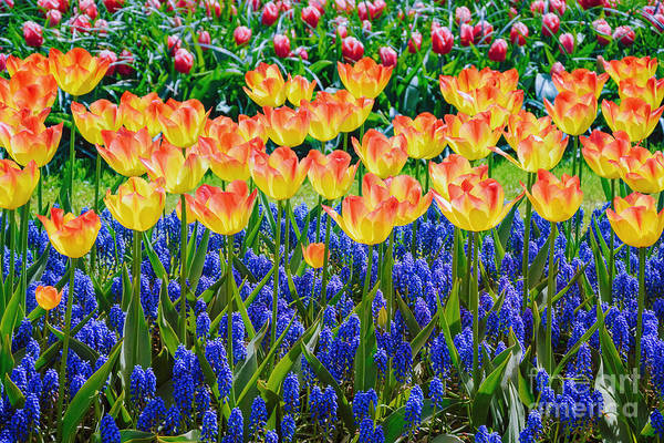 Tulips And Muscari Flowers Poster