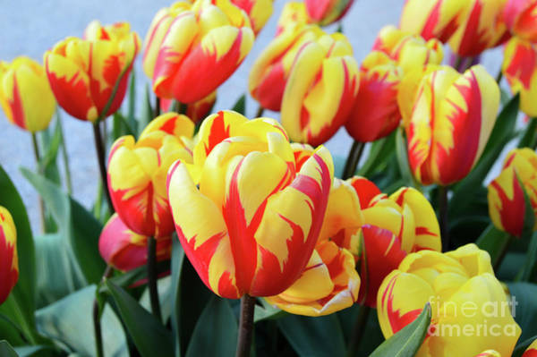 Tulips And Tiger Stripes Poster