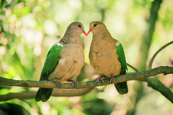 Two Colourful Doves Resting Outside On A Branch. Poster