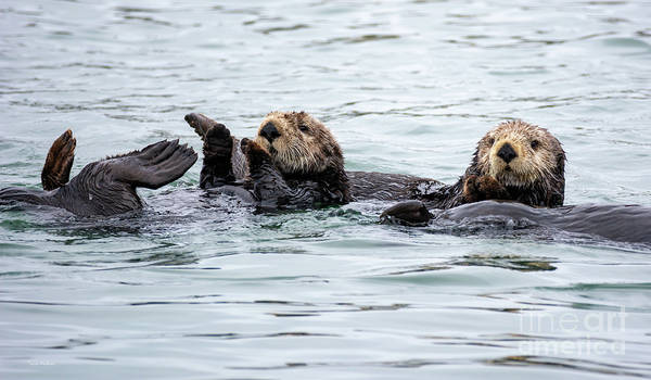 Two Cute Sea Otters Grooming Poster