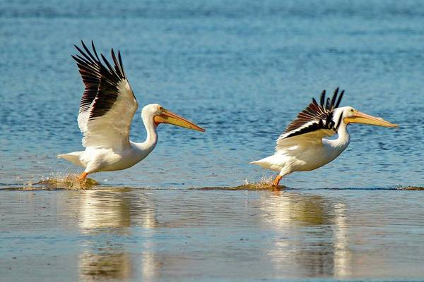 Two Pelicans Taking Off Poster