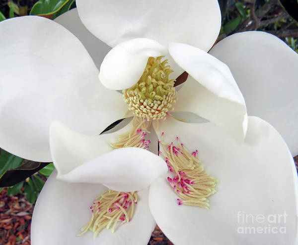 Unfolding Beauty Of Magnolia Poster
