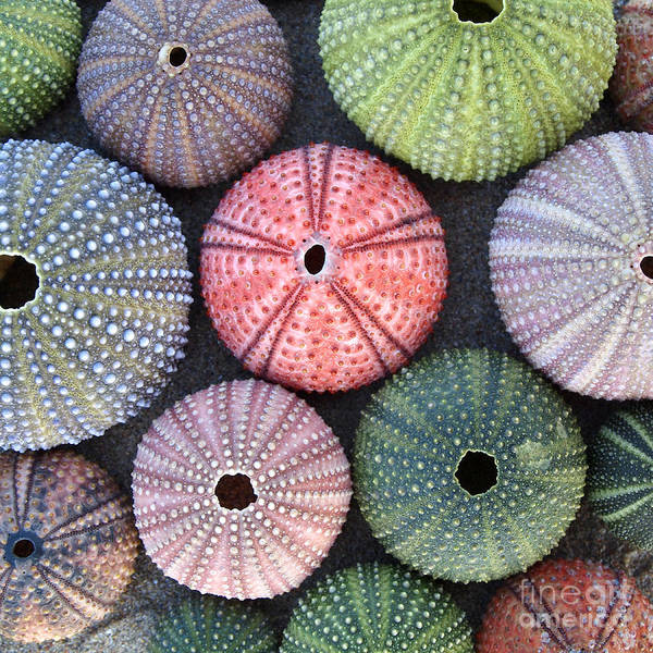 Variety Of Colorful Sea Urchins On Wet Poster