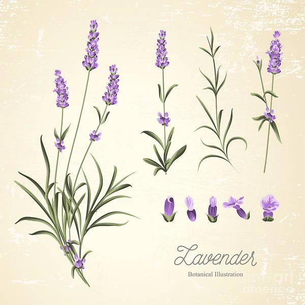 Vintage Set Of Lavender Flowers Poster