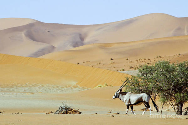 Wandering Dune Of Sossuvlei In Namibia Poster