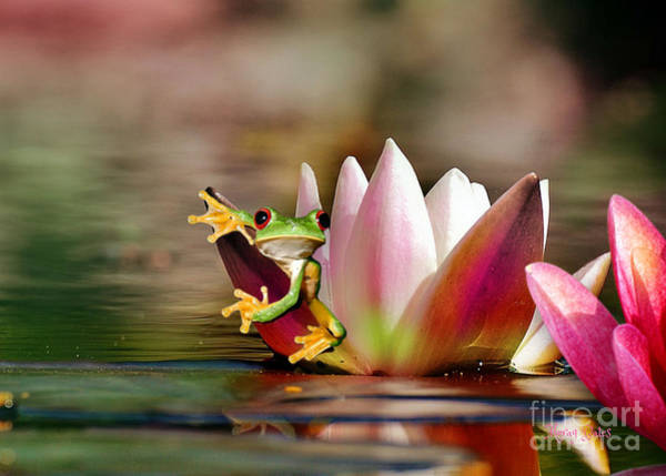 Water Lily And Frog Poster