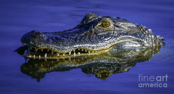 Poster featuring the photograph Wetlands Gator Close-up by Tom Claud