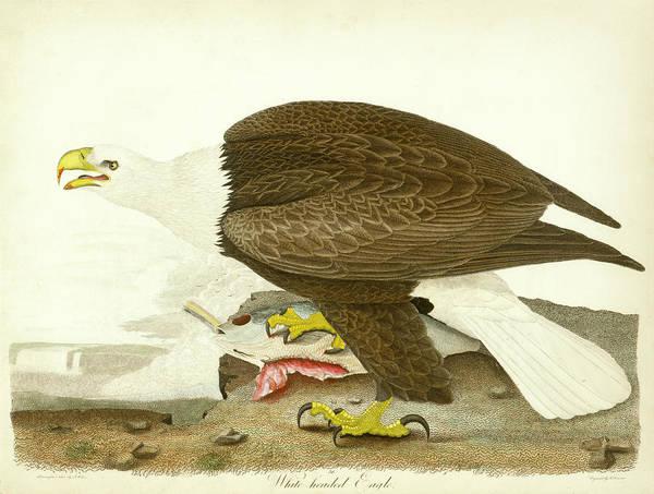 White-headed Eagle Poster