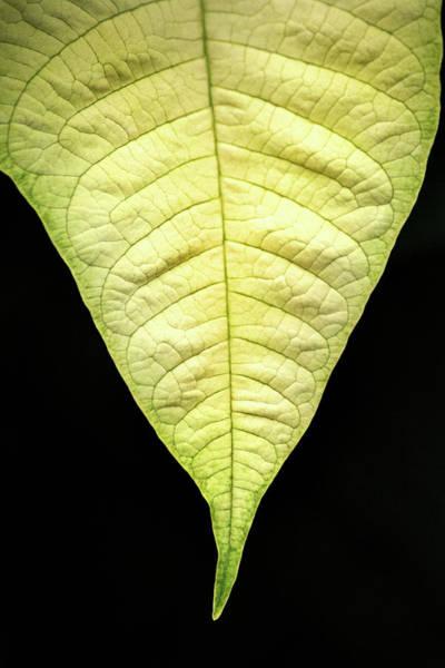White Poinsettia Leaf Poster
