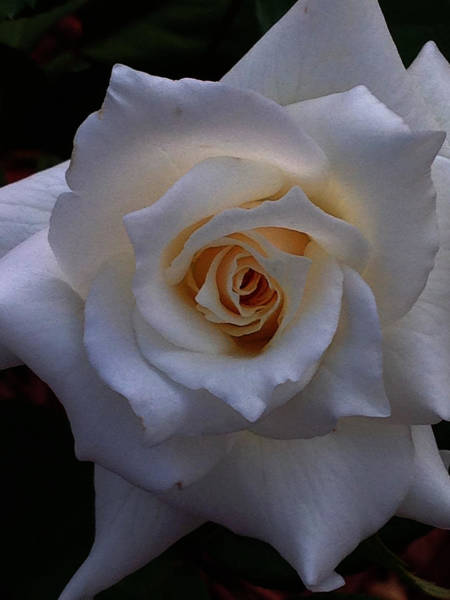 Poster featuring the photograph White Rose by Jeff Iverson