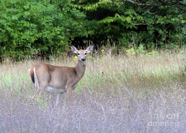 White Tale Deer Poster